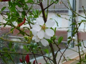 depuracion o ayuno flor blanca peq