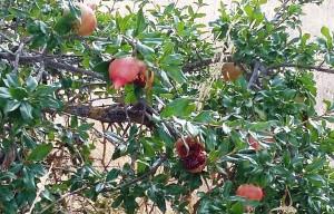 granada dieta depurativa herbolario on line mejorana
