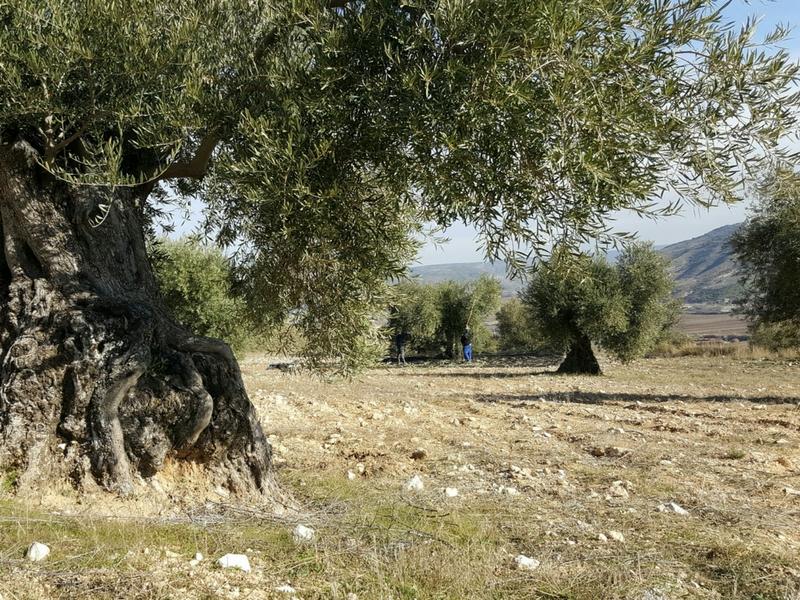 Aceite de oliva virgen extra ecológico la peraleña oleollano